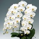 胡蝶蘭大輪ホワイト